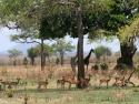 Impala & giraffer
