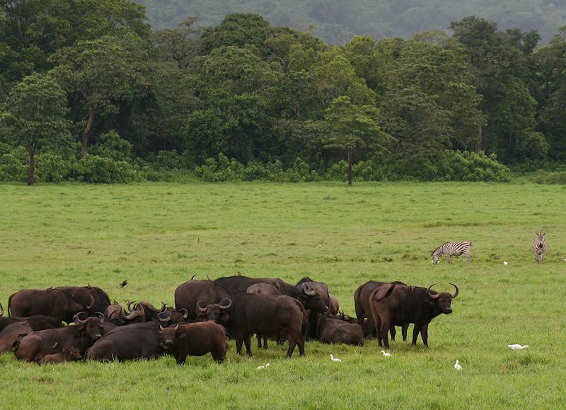 Bøffel & sebra