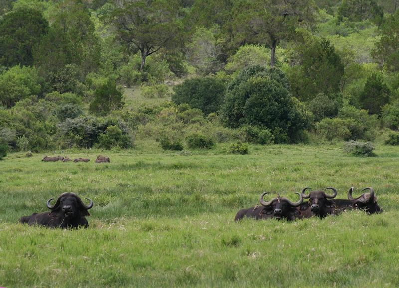 Bøffel & Warthog
