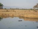 Flodhest og krokodiller