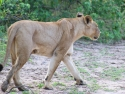 Løvinne i Chobe
