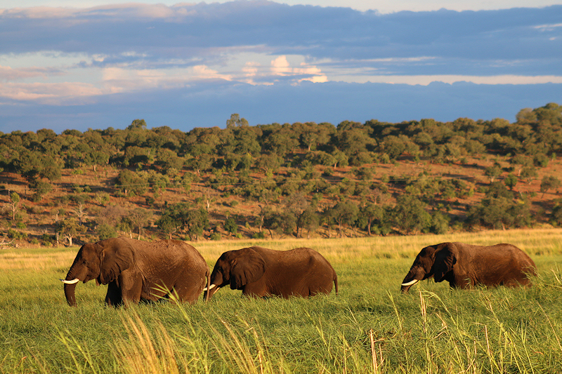 Elefanter i Chobe